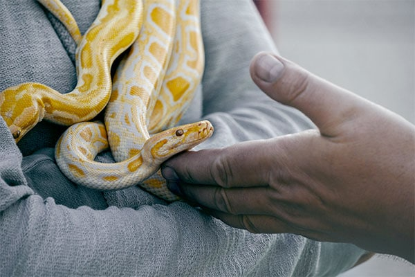 yellow and white snake